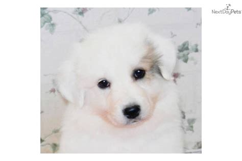 at what age do puppies calm great pyrenees puppy for sale near los angeles california 4d7516ee 6d61