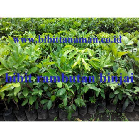 Harga Bibit Rambutan Binjai jual bibit tanaman unggul murah di purworejo