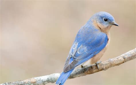 bluebirds aren t blue facts about the bird of happiness
