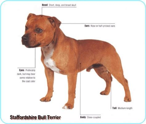 Pit Bull Breeds Also Search For Staffordshire Bull Terrier Pit Bull