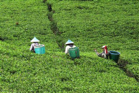 Teh Indonesia komoditas teh indonesia justru kalah dari india dan kenya
