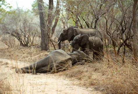 save elephants  fight terrorism   boycott
