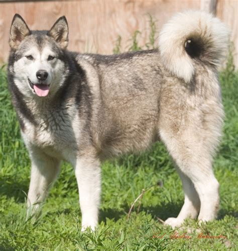 husky puppies for sale tx pittsburgh puppies for sale search puppies at rachael edwards