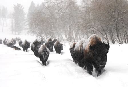 March of the snow bison bison quest adventure vacation blog