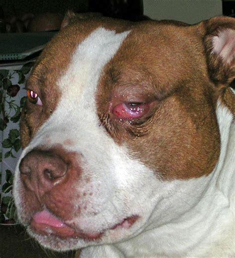 mmm in dogs masticatory myositis