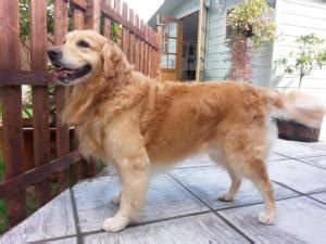 golden retriever grooming guide golden retriever grooming guide photo