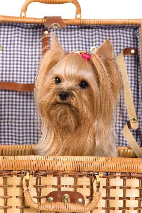 how will my yorkie live terrier breeds at mypetsmart
