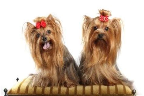 yorkie teeth cleaning 1000 images about yorkies on pets terrier and silky terrier