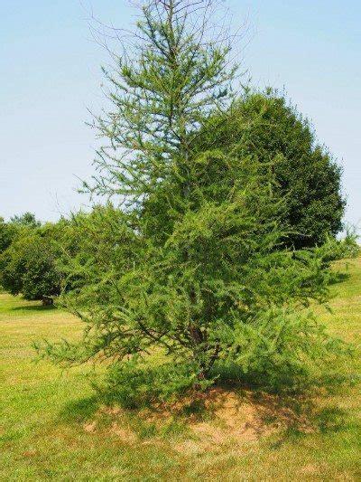 growing tamarack trees information  care  tamarack