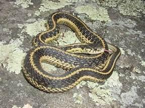 Garden Snake Missouri Easterngartersnake