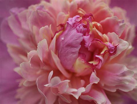 dark pink peony photograph by sandy keeton sandy keeton artist website