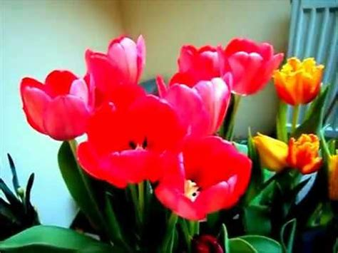 Bibit Bunga Tulip menanam bunga tulip dari bibitnya
