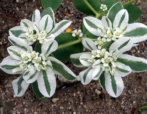 variegated euphorbia kilimanjaro euphorbia marginata 20 seeds