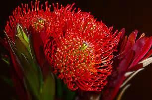 protea flower how to grow protea the garden of eaden