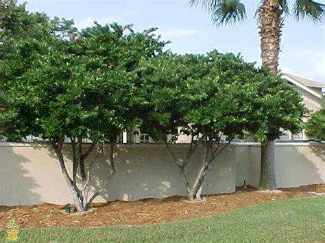 wavy leaf ligustrum backyard plants backyard