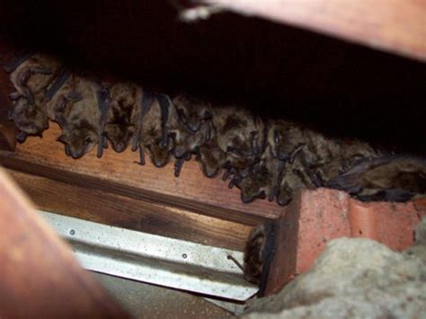 Bats In House by Trappro Maryland Bat Removal Md Dc Northern Va Bat