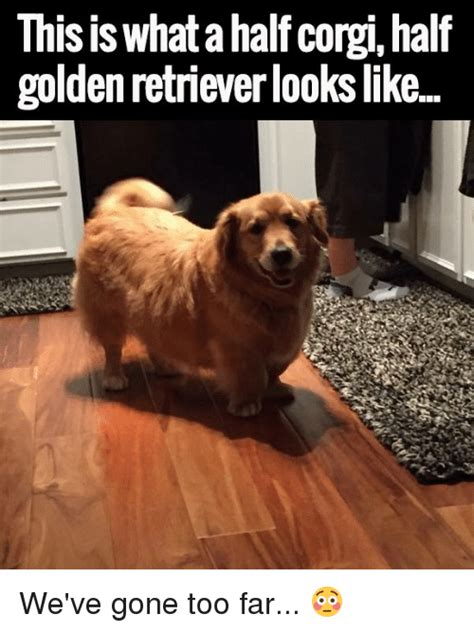 small that looks like a golden retriever 25 best memes about corgis corgis memes