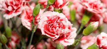 Carnation Flowers Pictures - 7 most beautiful carnation flowers