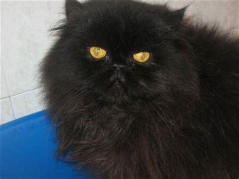 gatti persiani neri il persiano nero scheda completa di questa razza felina rara