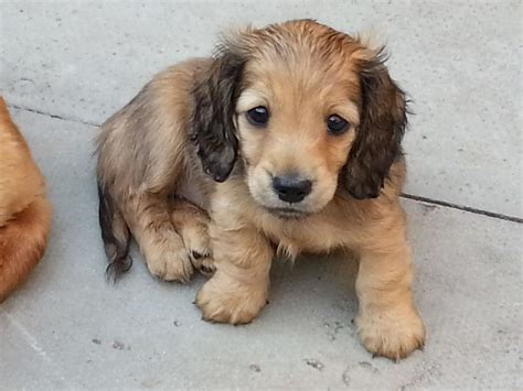 longhaired dachshund puppy shaded mini longhaired dachshund pup wigan greater manchester pets4homes
