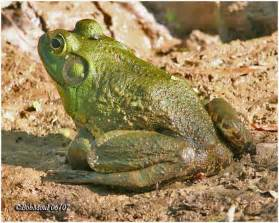 Bullfrog facts and latest photographs the wildlife
