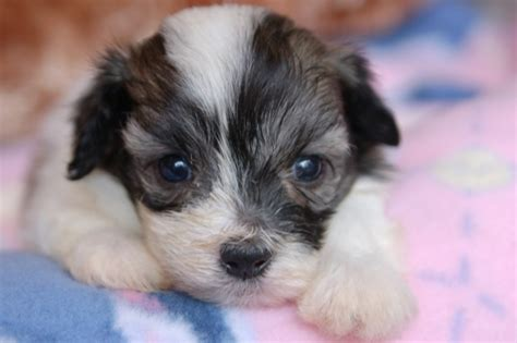 havanese puppies for sale in ri havanese for sale