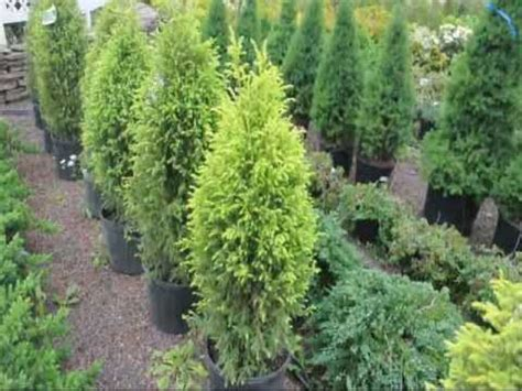 colorful evergreens that are deer resistant youtube