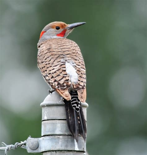 bird hybrids northern flicker intergrades