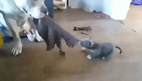 tug of war with puppy big patiently plays tug o war with puppy boing boing