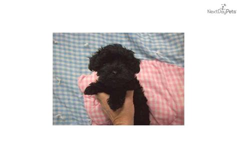 yorkie poo puppies louisville ky yorkiepoo yorkie poo for sale for 1 200 near louisville kentucky 481de5dc 0051