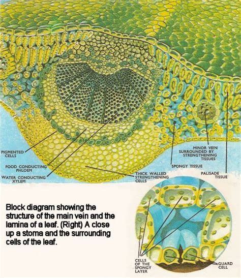 diagram of a leaf guard cells diagram transpiration guard free engine