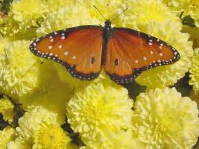Butterfly Gifts Chrysanthemum Photos The Flower Expert Flowers Encyclopedia