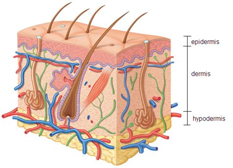cross section of skin dermal applications