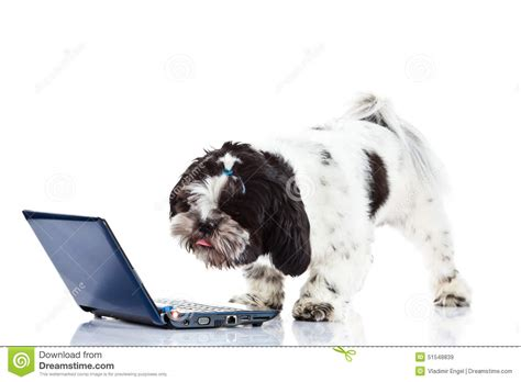 Shih Tzu With Computer Isolated On White Background Dog ...