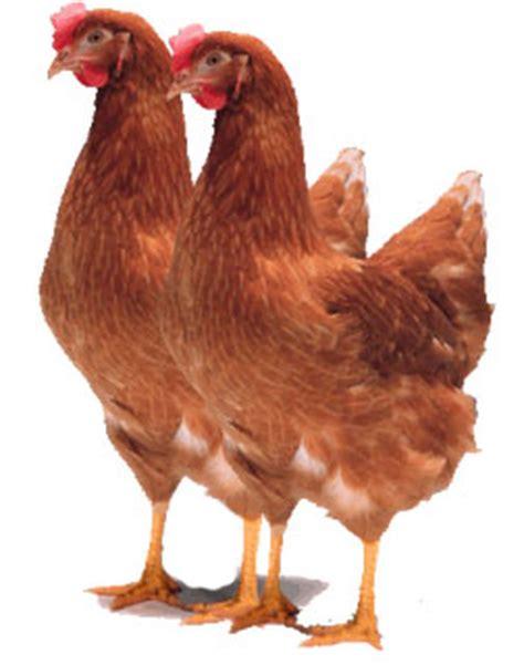 Jual Bibit Ayam Petelur Karawang jual pullet ayam petelur harga pullet ayam adam nv