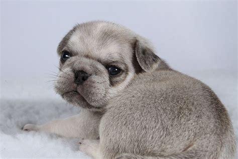 silver chinchilla pug breeders breeders view advert beautiful chinchilla pug puppies