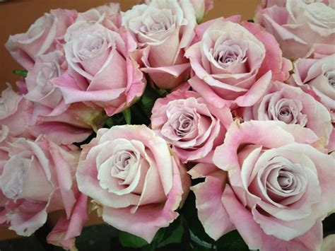 Faith rose from South America   Roses   Pinterest