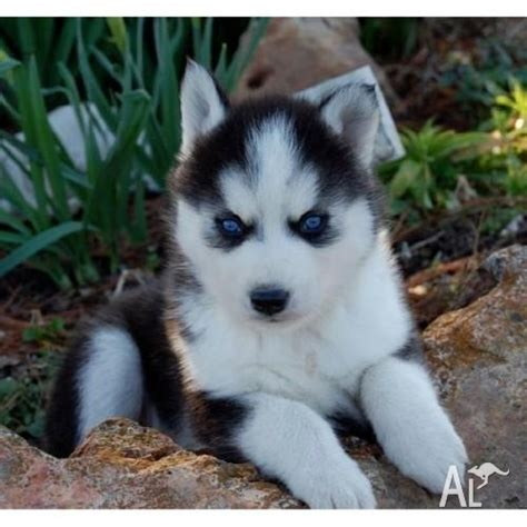 blue eyed husky puppies for sale blue siberian husky puppies for sale and for sale in melbourne