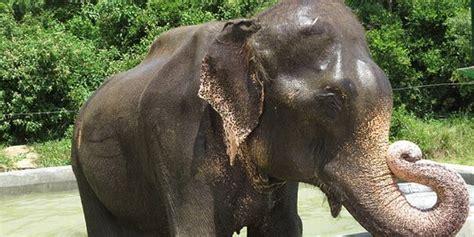 Gajah India usai diselamatkan gajah india raju terancam kembali
