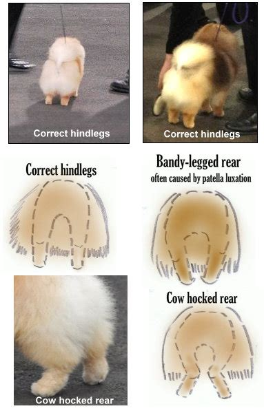 pomeranian watery hindlegs pomeranian information and facts