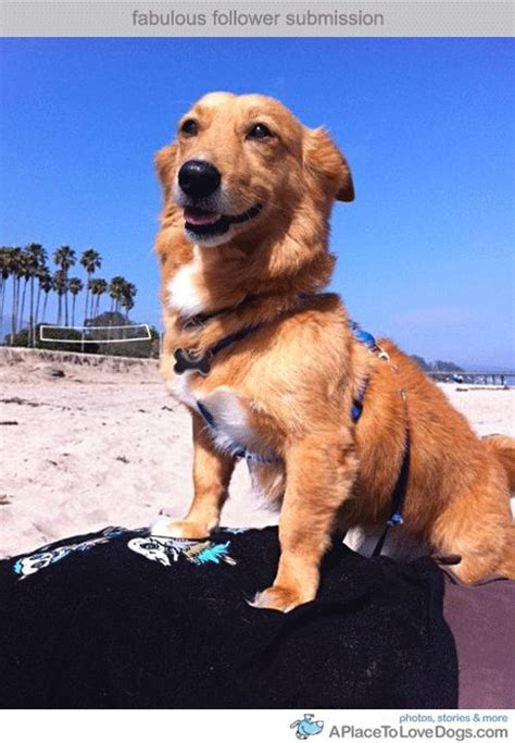 golden retriever and corgi mix 17 best images about golden corgies on warm dads and washington