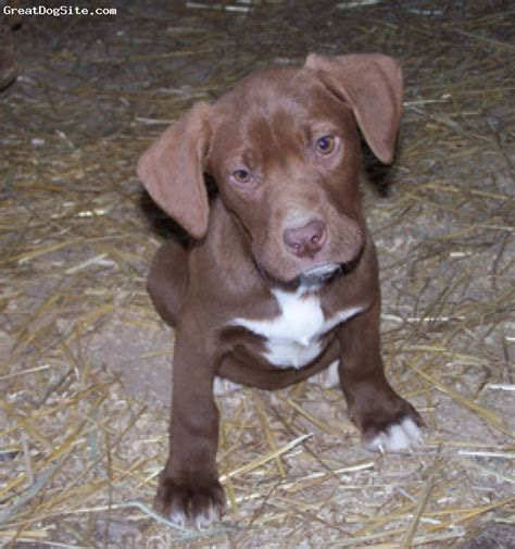 german shorthaired lab puppies german shorthaired lab 3 months puppy breeds picture