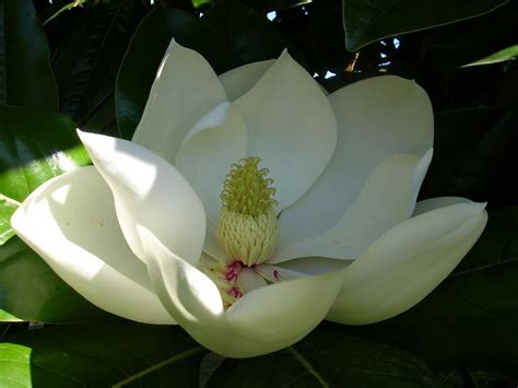 imagenes de magnolias blancas magnolias en flor im 225 genes y fotos
