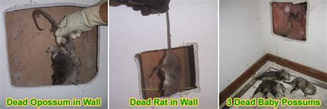 Dead Animal In My Wall Smell - dead rodent rat or mouse smell in house or walls