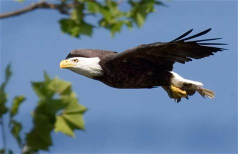 c to see bald eagles the national wildlife federation