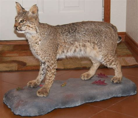 Cat Tembok Outdoor Mix One outdoor odyssey entries tagged as bobcat