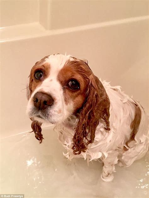 why do dogs go after a bath traumatised pets pictured after their baths daily mail