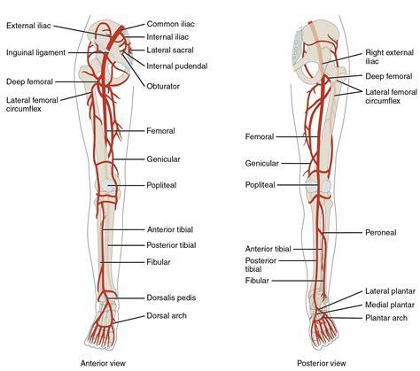 labeled artery diagram leg arteries diagram anatomy organ
