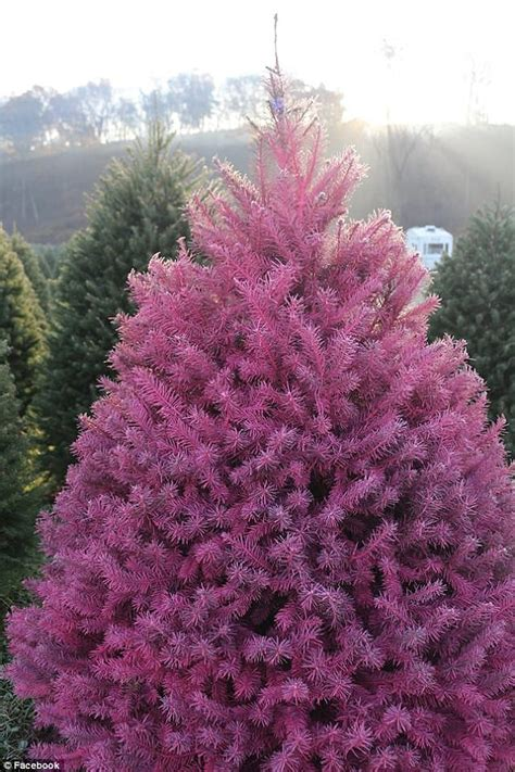 best real christmas trees in south jersey new jersey farm is selling rainbow trees daily mail