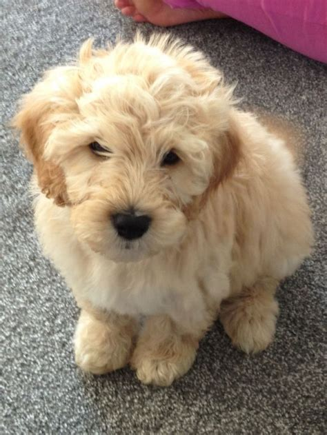 mini goldendoodles louisiana 25 best ideas about labradoodle puppies on